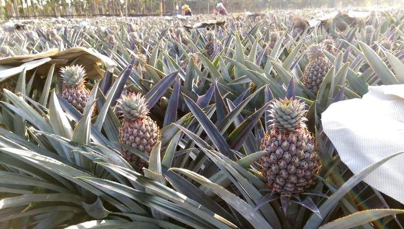 台灣鳳梨大量外銷已成水果外銷第一名。(作者提供)