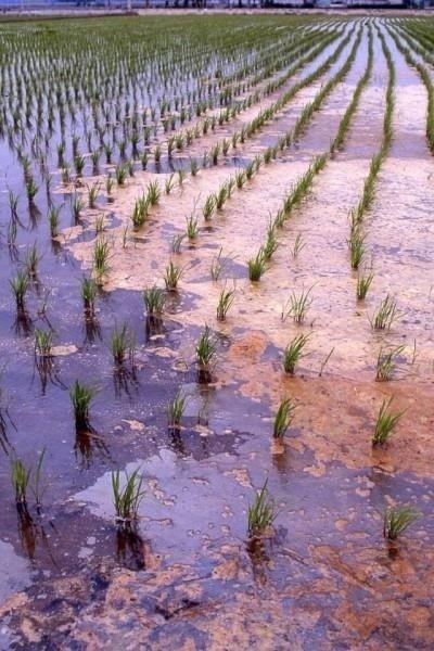 桃園市和彰化縣農地重金屬汙染最為嚴重,圖為受汙染的農地。(圖片由台灣環境資訊協會提供)