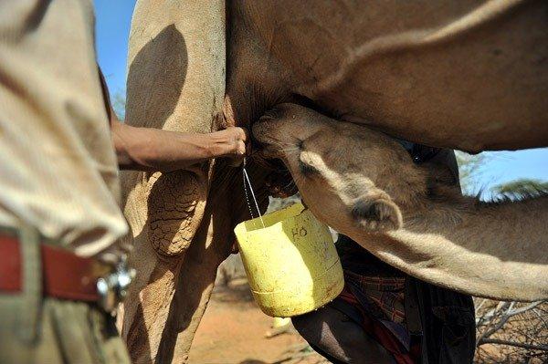 在美國許多州,從任何源頭或跨過州界經銷未經高溫殺菌的生乳是違法的,然而消費自有牲畜身上的產品則合法。(取自網路)