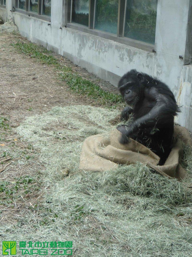黑猩猩將麻布袋打開。(取自台北市立動物園)