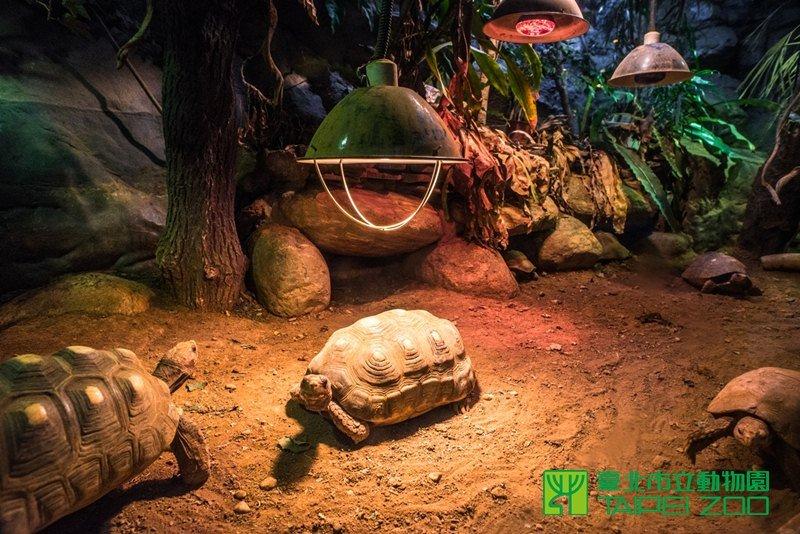 保育員特地為蜥蜴、蛇、烏龜等多種爬蟲動物在展示箱內加設保溫燈,民眾可以看到小動物們紛紛圍繞在保溫燈下方取暖。(取自台北市立動物園)