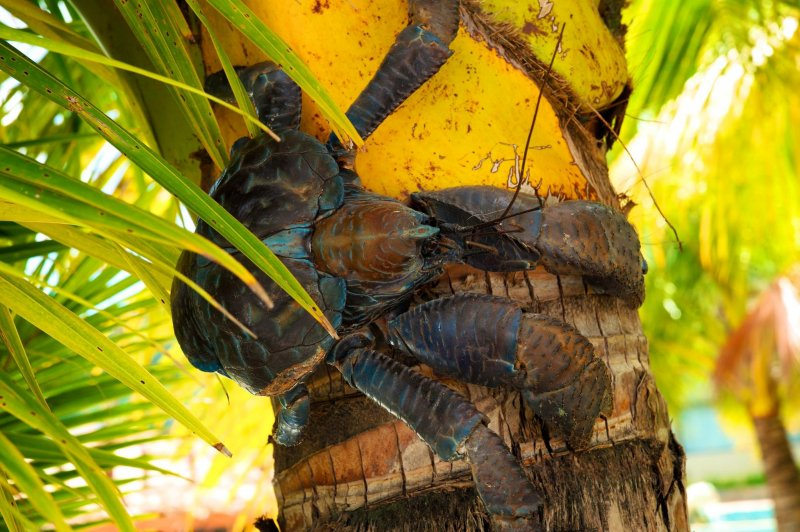 吃椰子維生的椰子蟹其實不是螃蟹,而是寄居蟹的近親。(圖/邱宏照臉書)