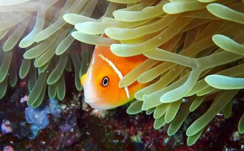 帛琉是熱帶魚天堂,是最好的親子生態教室,還可看見小丑魚與海葵共生的可愛模樣。(圖/邱宏照提供)