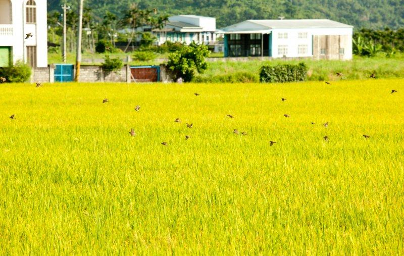 臺九線近年每天大清早,常見大舉入侵的外來種泰國八哥(白尾八哥)在路上跳來跳去。(圖/時報出版提供)