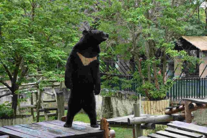 壽山動物園裡的黑熊站姿宛如人類,引起民眾熱烈討論。(取自壽山動物園臉書)