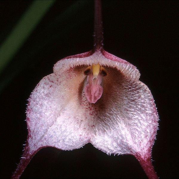 網路上各種不同型態的猴面蘭花。(取自網路)