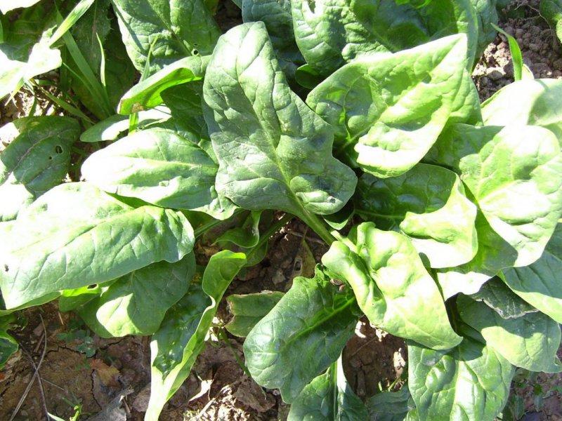 菠菜(圖/wikipedia)