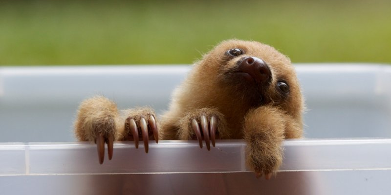 baby two toed sloth.jpg