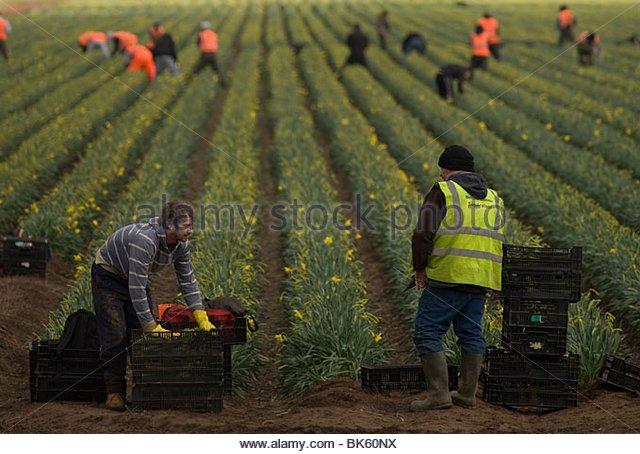 英國的東歐移工填補季節性農業裡的勞力短缺。(www.alamy.com)