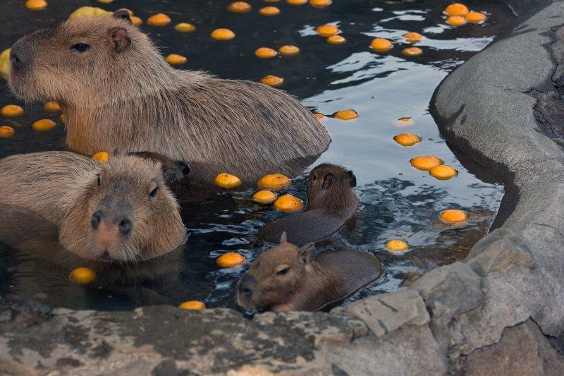 不只人類,連超人氣的「水豚」都難以抵擋溫泉的魅力。(圖/hoshner sigmaniax@flickr)