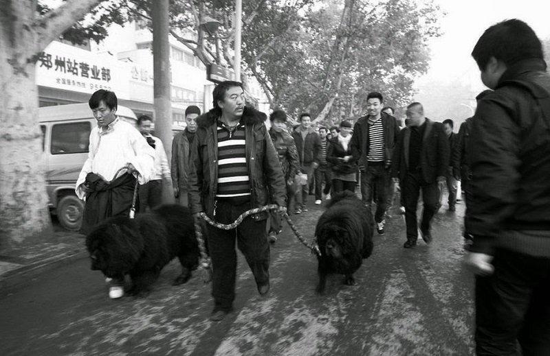 2011年的一則網路新聞,指一名牛姓藏獒基地場主,為配種還特意請來美女禮儀和寶馬車,為兩隻身價不凡藏獒接風造勢。(來源:唯色「看不見的西藏」網頁)