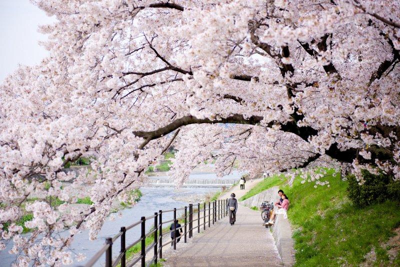 京都鴨川畔盛開的櫻花,是4月的旅遊熱點(圖/Ryosuke Yagi@flickr)