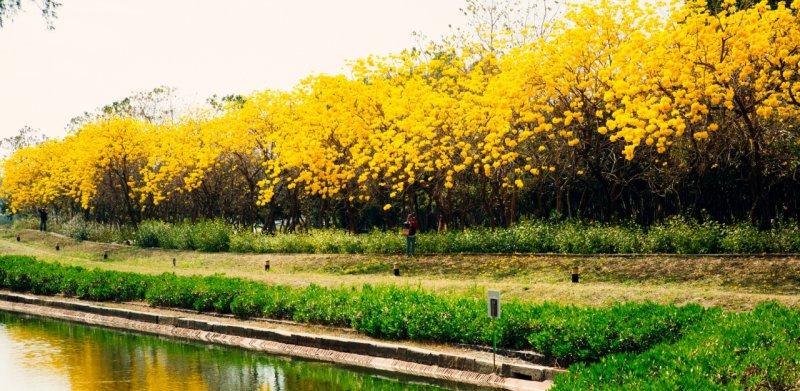 與老爺酒店一同感受台南億載金城護城河旁盛開的黃花風鈴木。(圖/老爺酒店提供)