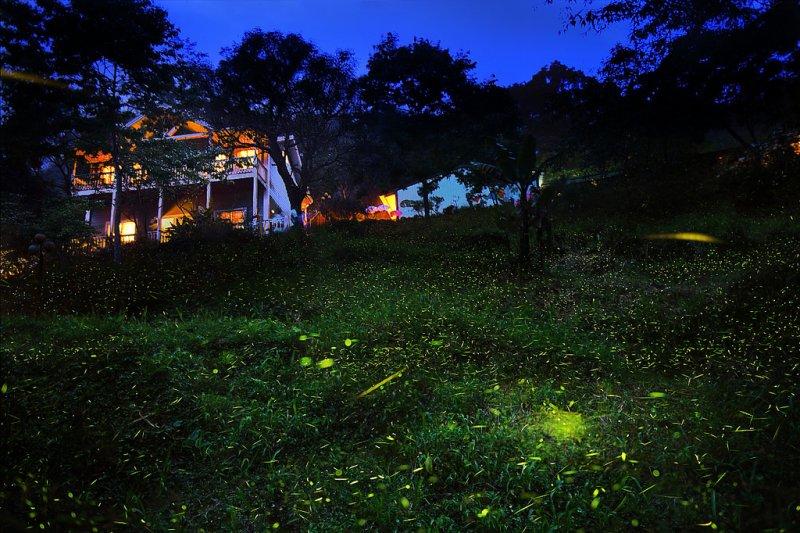 夕陽西下,正是螢火蟲出動的時刻,綠光與夕陽微光相互呼應,寧靜唯美。(圖/CheWei Chang@Flickr)