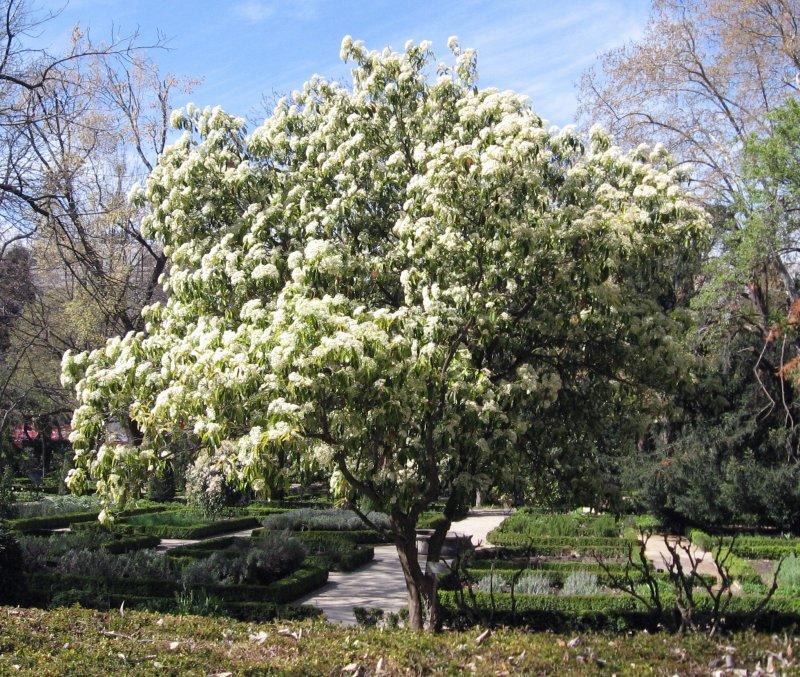 台灣石楠不僅為本土植物,花期綻放時也毫不遜色於油桐花。(圖/維基百科)