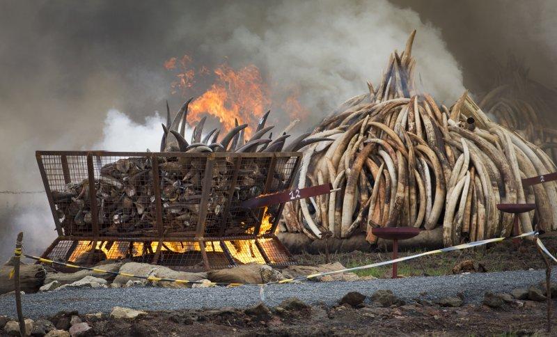 肯亞在4月30日焚毀多達105噸的象牙,向全世界宣示反盜獵(美聯社)