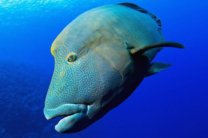 帛琉的國寶魚-拿破崙魚,呆萌的模樣特別討人喜歡。(圖/Yorko Summer提供)