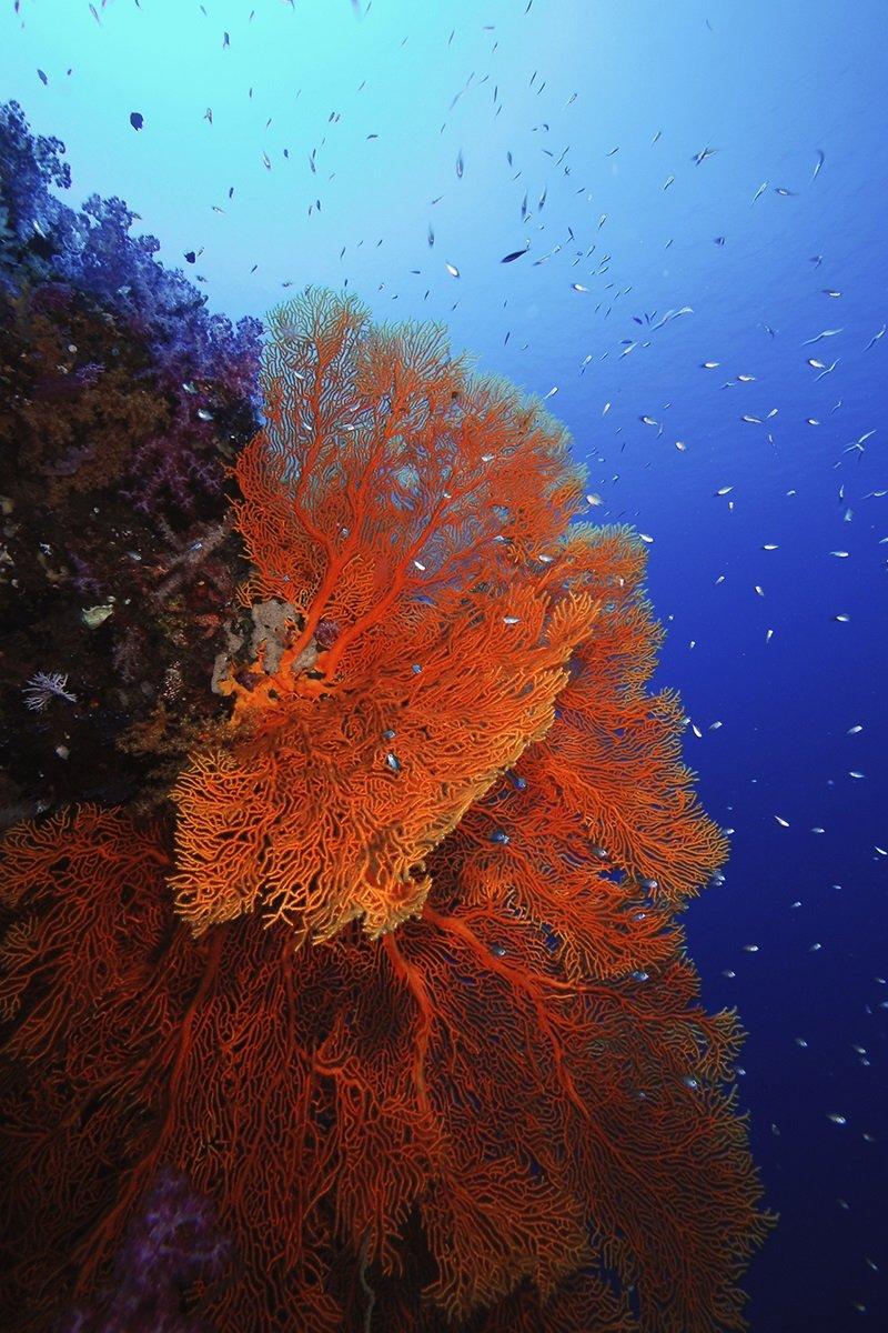 帛琉水下美麗且巨大的紅色海扇。(圖/Yorko Summer提供)