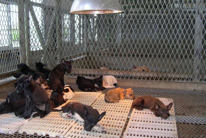 動物收容所經常有幼犬被棄養,這也突顯,要做到零安樂的目標,源頭的家犬絕育才是最重要的。(動物社會研究會提供)