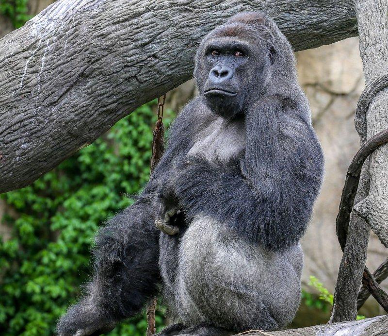大猩猩「哈蘭比」(Harambe)(取自網路)
