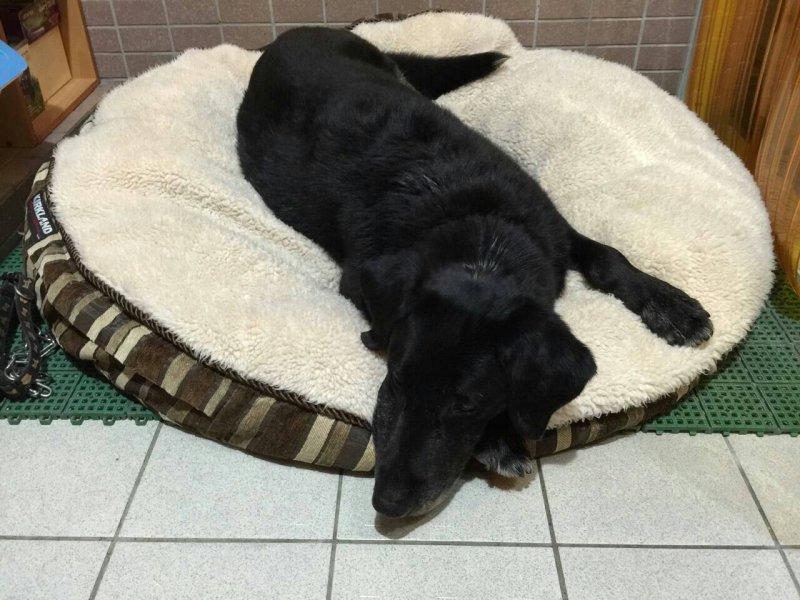 母犬Bailey為是一隻黑色拉不拉多犬,退役前年年出任務,退休時的年齡相當於人類的89歲。(陳孋輝辦公室提供)