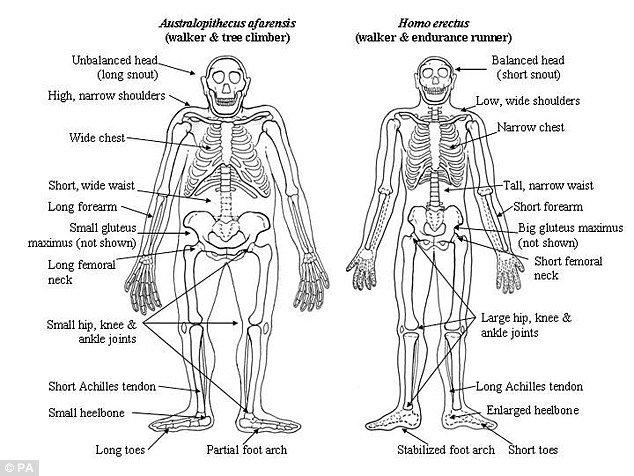南方古猿與人類祖先直立人具有顯著的生理差異。(圖/截自dailymail)