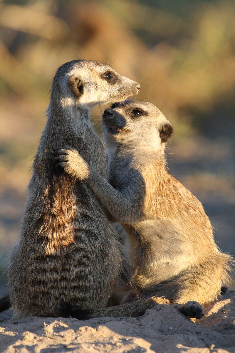 狐獴家族的擁抱(時報出版提供)