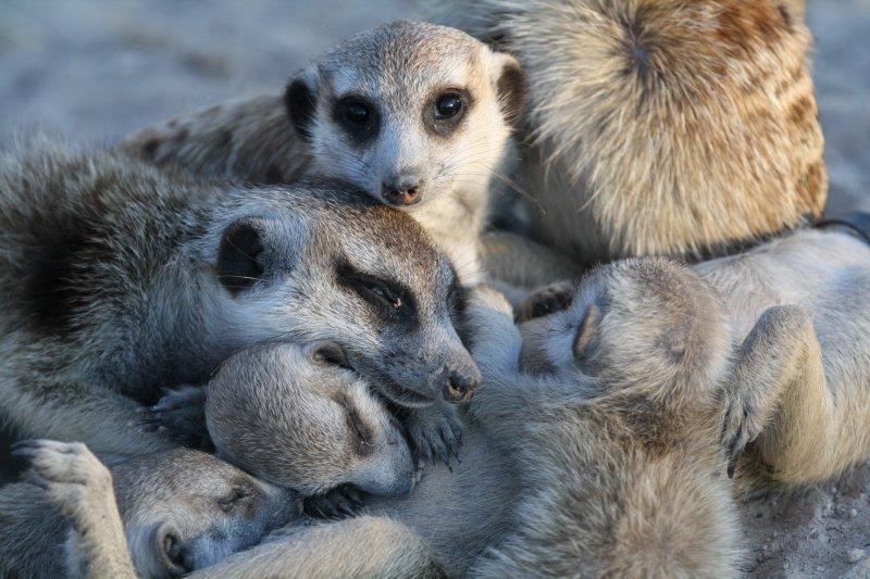 狐獴家族的成員彼此間關係緊密(時報出版提供)