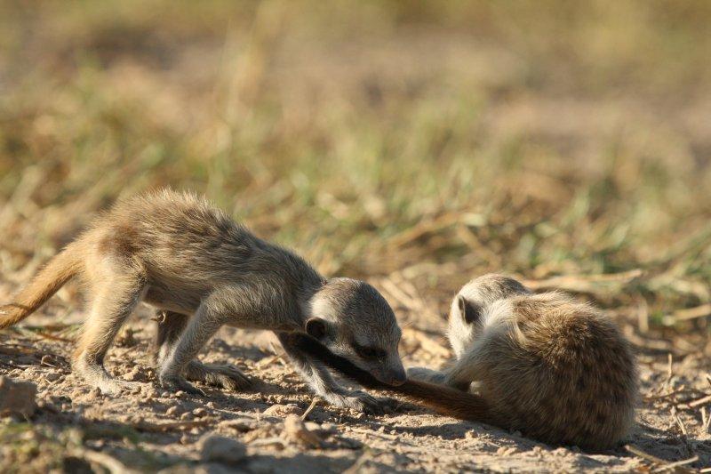 小狐獴們一同玩耍(時報出版提供)