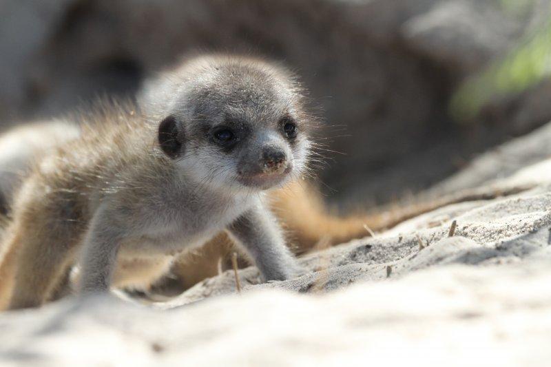 出生約兩周的幼小狐獴(時報出版提供)
