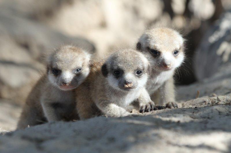 三隻狐獴寶寶隨著姐姐爬出洞口(時報出版提供)