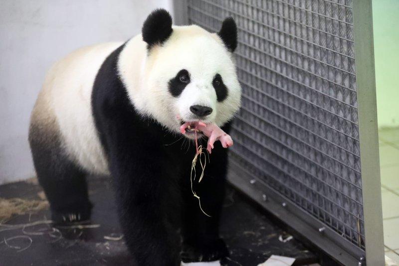 中國借給比利時的大貓熊「好好」6月2日凌晨2點產下一子。(美聯社)