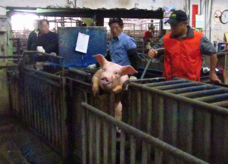 圖12 拍賣過程中豬隻緊張趴在欄杆上並遭受電擊。(朱淑娟提供)
