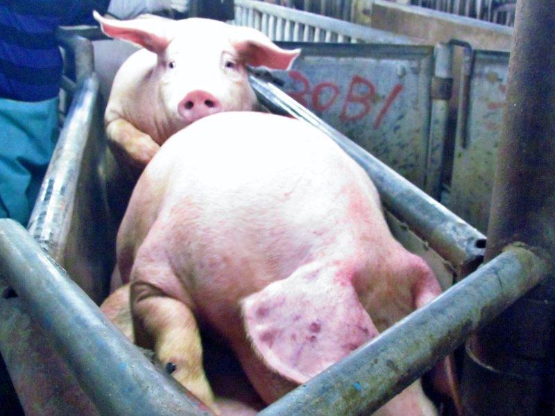 圖13 拍賣過程中豬隻緊張堆疊。(朱淑娟提供)