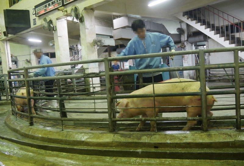 圖19 拍賣過程中遭到電擊豬隻。(朱淑娟提供)