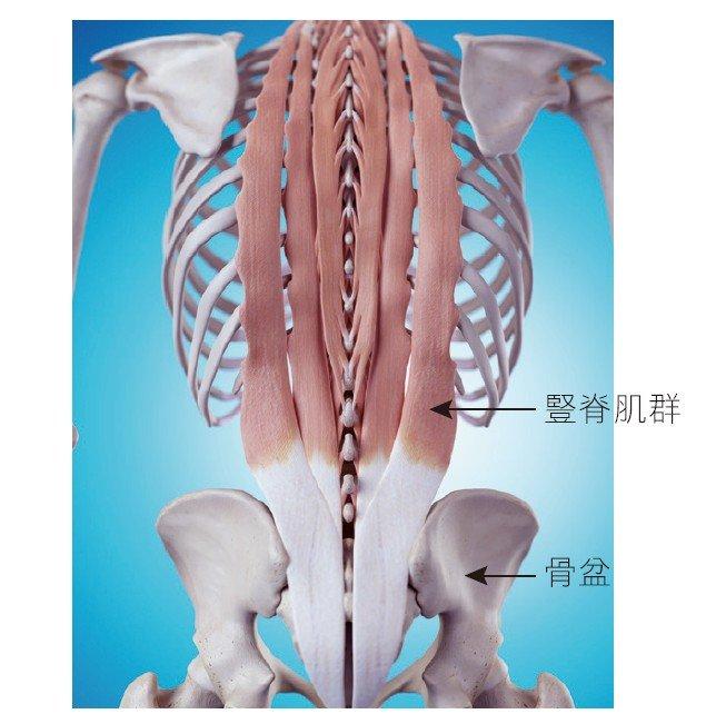 下背肌肉(豎脊肌)的位置(圖/三采文化提供)