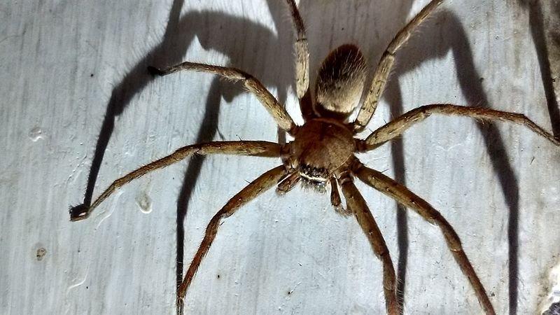 在台灣俗稱「喇牙」的白額高腳蛛。(圖/維基百科)
