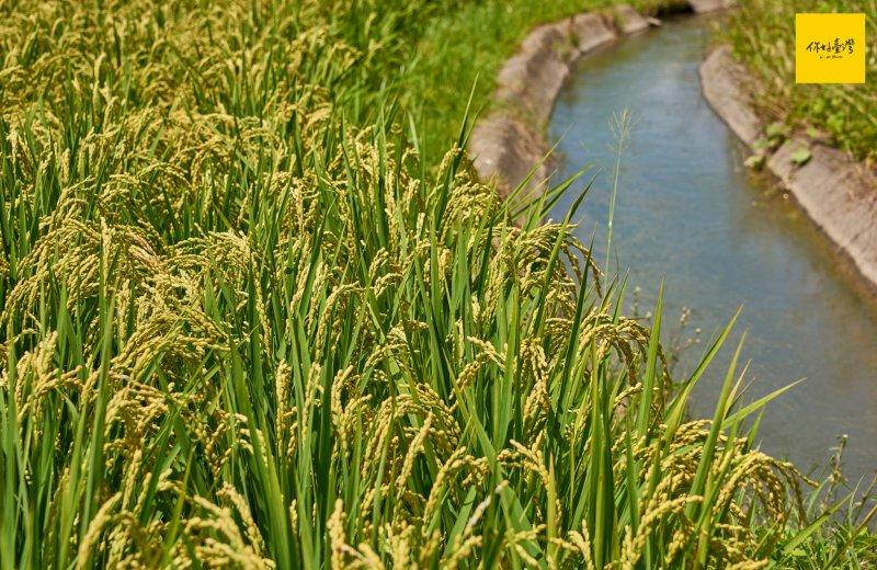 依伴在給水路旁邊的稻穗。
