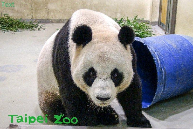 大貓熊「圓圓」(台北市立動物園)