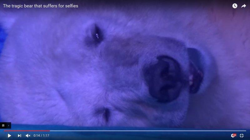 全世界最悲傷的北極熊(YouTube)