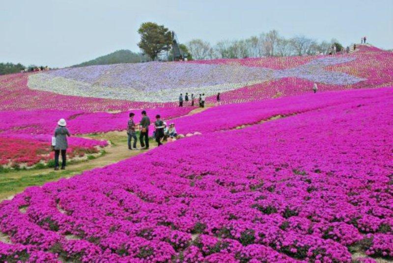 「廣島幸福花海」的圖片搜尋結果
