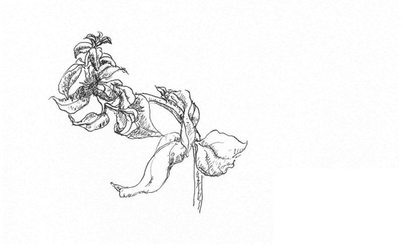 野菜穿心蓮開了一朵小花。(作者手繪/印刻文學提供)