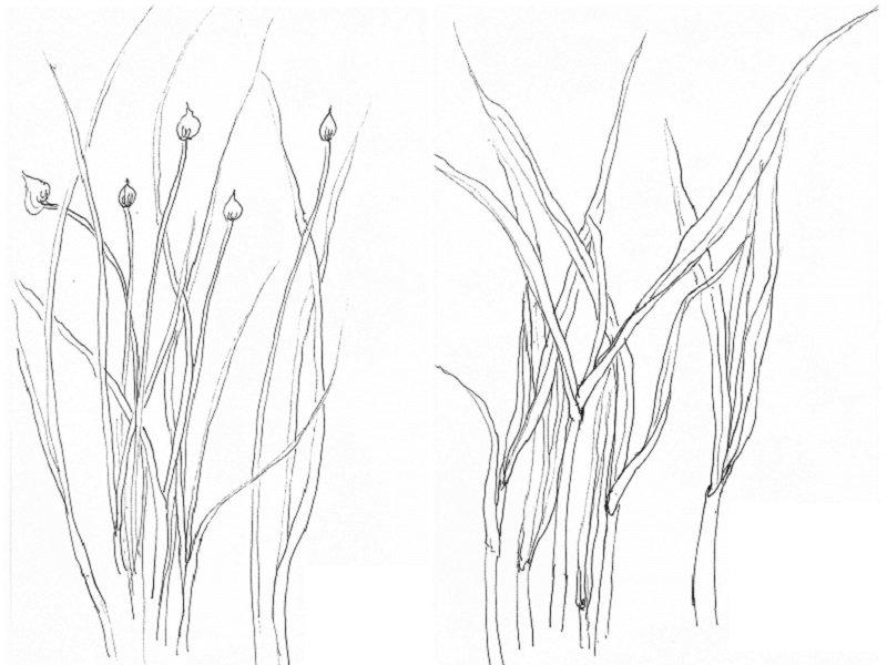 開闢菜圃種植蒜苗、香蔥。(作者手繪/印刻文學提供)