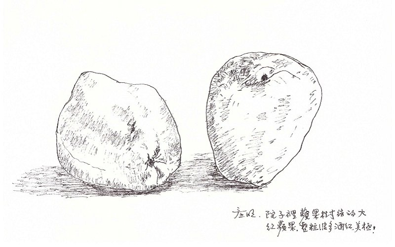 自家院子裡種出來的大紅蘋果。(作者手繪/印刻文學提供)