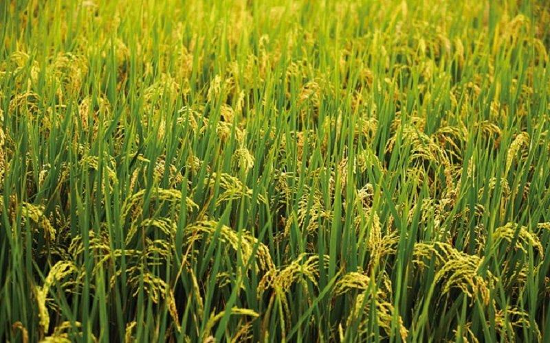 米飯的滋味,是一輩子的鄉愁。