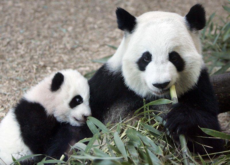 大貓熊倫倫和她的雙胞胎孩子之一。(美聯社)