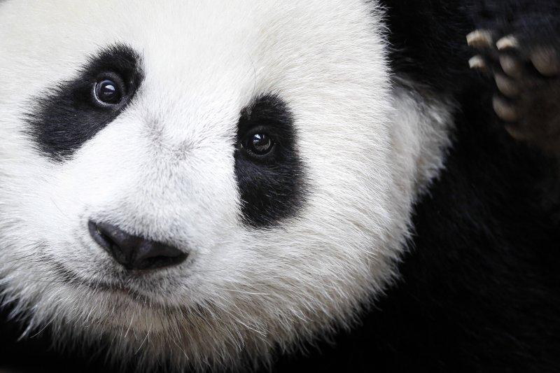 國際自然保護聯盟宣布,大貓熊的保護狀況從瀕危降到易危。(美聯社)