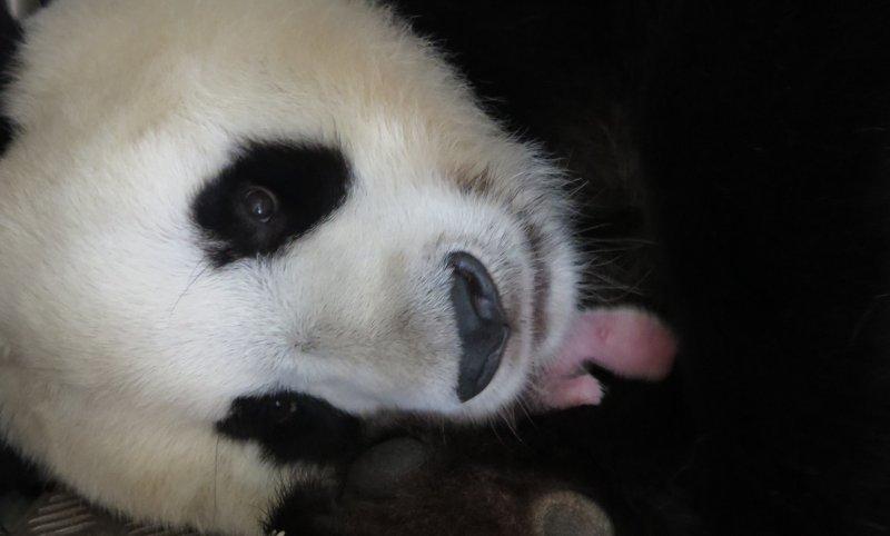 馬德里動物園的大貓熊「花嘴巴」31日誕下一女。(美聯社)