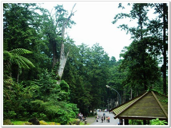 溪頭神木是樹齡二八OO年的紅檜,卻因為這幾天的大雨,而倒塌。(文化部臺灣社區通)