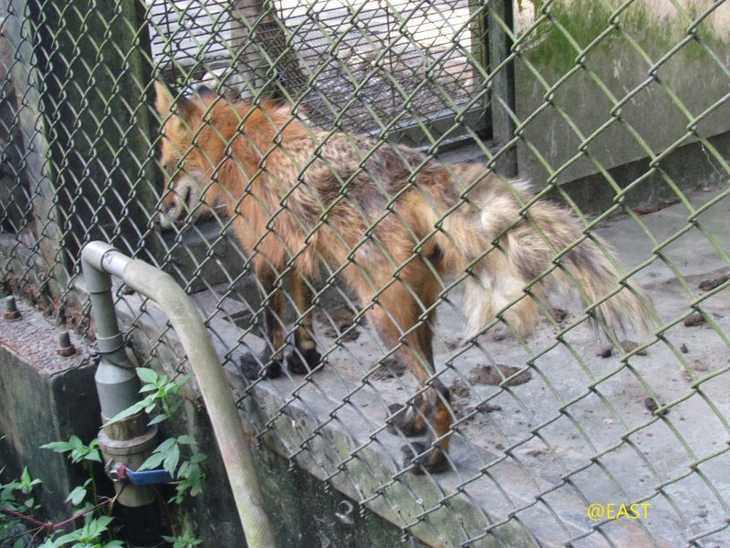 台灣動物社會研究會指出,兆豐農場許多狐狸活像流浪犬一般,並且都有類似犬瘟後遺症的神經症狀。(取自台灣動物社會研究會)